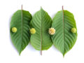 Kratom leaves on white background