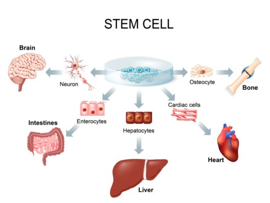 Stem cells — the cells from which all other specialized cells in the body are generated
