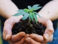 agronome hands keeping an organic sprout of hemp