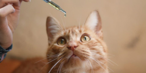 How Effective Is CBD Oil For Cats?